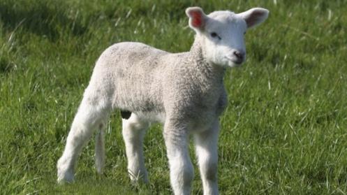 Passover-Lamb-PCOG-iStock